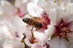 Lebah 1