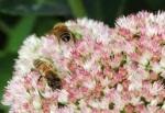 Lebah 2